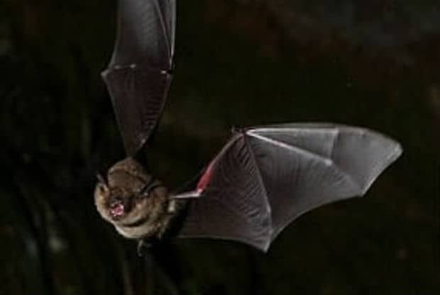 ATTENTION!!! A BAT INFLECTED WITH DEADLY VIRUS WAS FOUND TO AUSTRALIA!!!